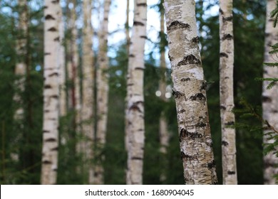 Birch and spruce trees in South-Estonian forest areas