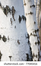 Birch stems, selective focus on stem in the foreground