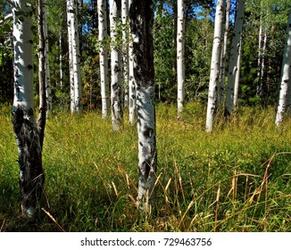 Birch Sticks - Birch forest at Black Butte Ranch near Sisters, OR