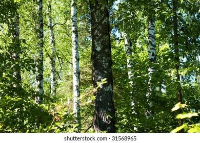 birch summer forest