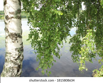 birch in summer with green leaves on the background of the river