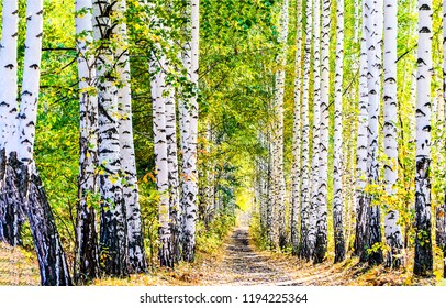 Birch tree alley landscape. Autumn birch tree forest alley view. Autumn birch tree alley scene. Birch tree alely in autumn season