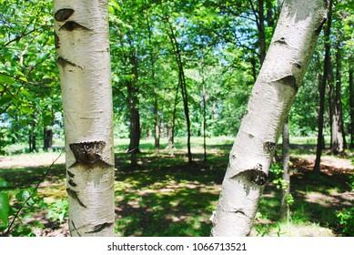 birch tree background