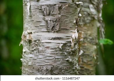 Birch tree bark closeup
