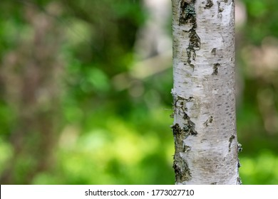 Birch tree bark. Deciduous tree trunk in Central Europe. Summer season.