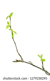 Birch tree (Betula pendula) branch with budding leaves isolated on white background.