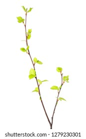 Birch tree (Betula pendula) branch with young leaves isolated on white background.