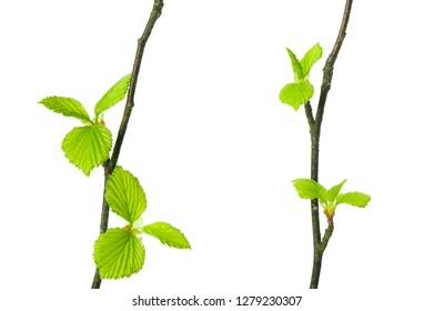 Birch tree (Betula pendula) branches with budding leaves isolated on white background. Selective focus.