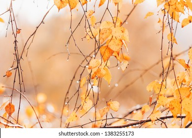 birch tree branch in autumn, yellow leaves, rainy day