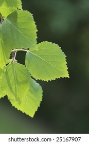 Birch tree branch with a leaf in closeup