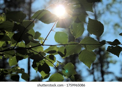 Birch tree branch with the sun peaking through.
