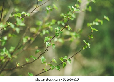 Birch tree branch with young green leaves in early spring