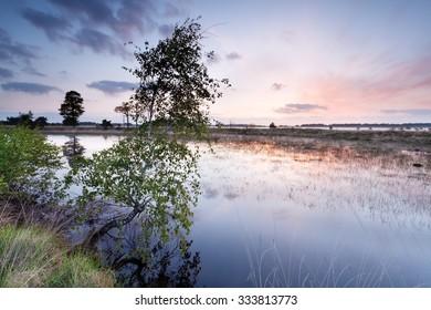birch tree by river at sunrise, Kampina, Netherlands