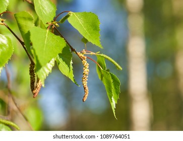 Birch tree catkins and fresh green leaves with small aphids in leaves on spring afternoon in Finland.