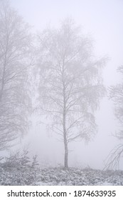 Birch tree covered with snow in misty winter day