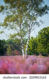 Birch tree in a field of blooming heather, De Kampina, Noord Brabant