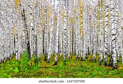 Birch tree forest in autumn background. Autumn birch tree forest landscape. Autumn birch forest view