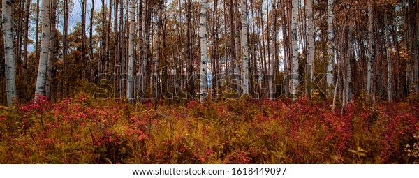 Birch Tree forest in Autumn with fall colors.
