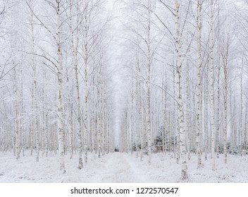 Birch tree forest covered covered by fresh frost and snow during winter Christmas time