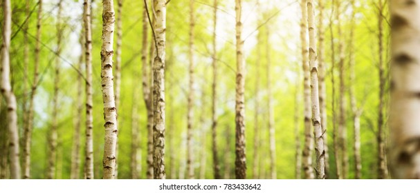 birch tree forest in morning light with sunlight