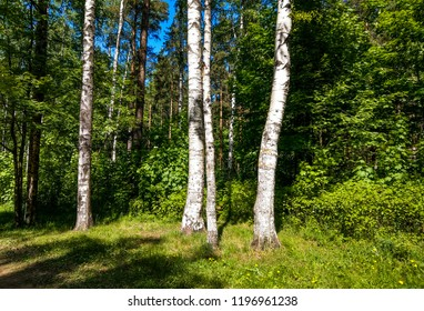 Birch tree forest scene. Summer birch tree forest background. Birch forest view. Birch trees forest scene