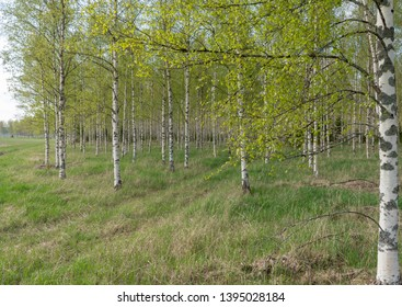 Birch tree with fresh green leaves in spring