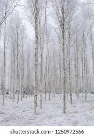 Birch tree in a frosty landscape