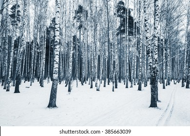 Birch tree grove at cloudy winter day time.