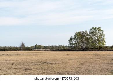 Birch tree grove in a plain barren grassland Stora Alvaret on the island Oland in Sweden