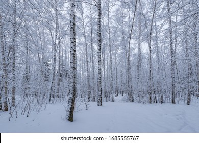 Birch tree grove at winter evening time,