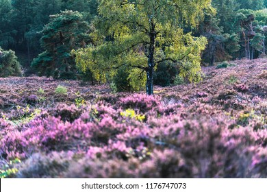 Birch tree in hilly moorland with blooming heather.