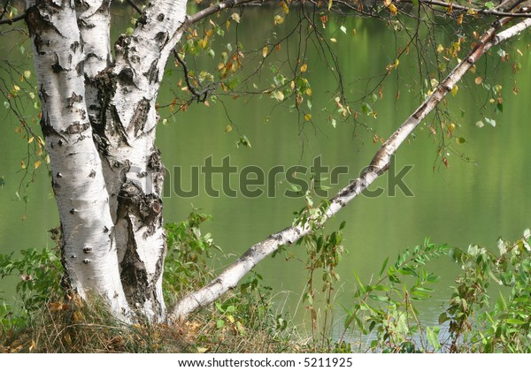 Birch tree leaning over a lake, river. Fall colors, theme.