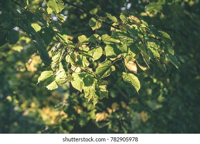 birch tree leaves and branches against dark background in warm day. countryside - vintage film look