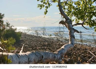 Birch Tree on Beach
