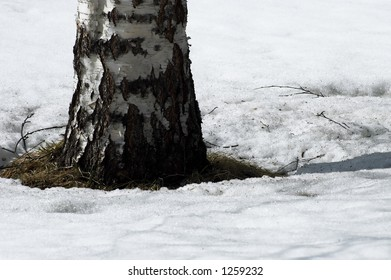 birch tree on snow