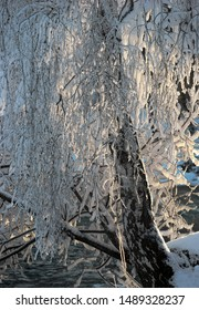 Birch tree with snow and frost in low winter sunshine in front of Scandinavian river
