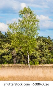 Birch tree standing on dry yellow meadow