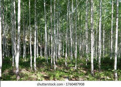 birch tree in summer forest, south korea