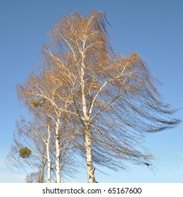 Birch tree swaying in the wind