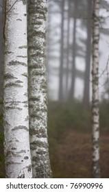 Birch tree in thick fog