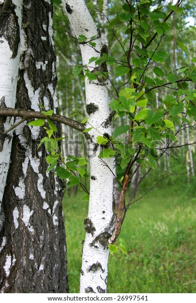 birch tree trunk with young foliage