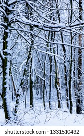 BIrch tree trunks covered in snow in a forest during a snow storm.  The tree trunk are architectural and like skeletons in the woodland