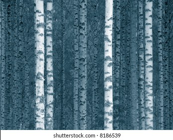 birch tree trunks in a finnish forest