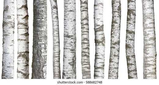 Birch tree trunks isolated on white background