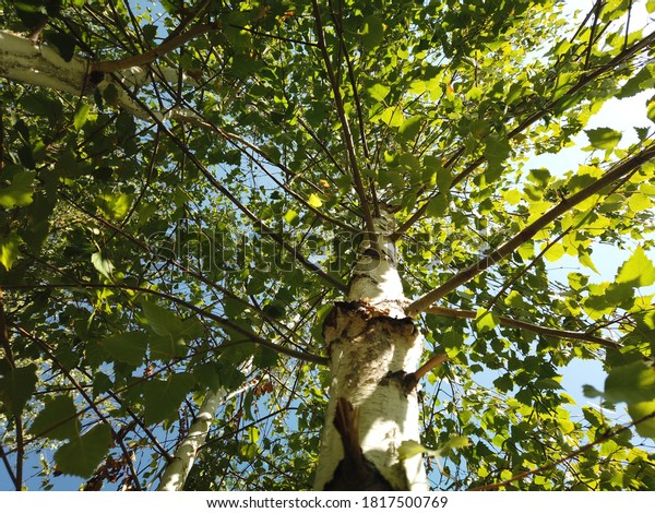 birch-tree-view-below-sun-600w-181750076