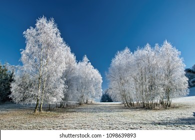 Birch tree in the winter with blue sky