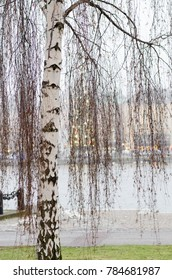 birch tree in the winter riverbank of the city of Stockholm