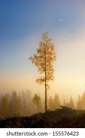 Birch tree with yellow and brown leaves in foggy scandinavian forest in autumn morning