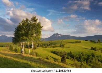 Birch trees at alpine meadow in Carpathians