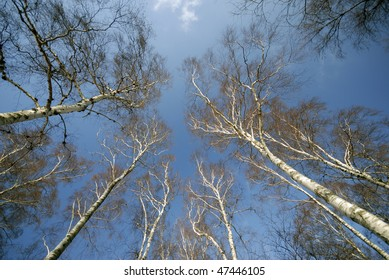 Birch trees from below. Danish forest near Little Belt.